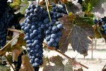 lovely syrah grapes, just waiting for the fermenter