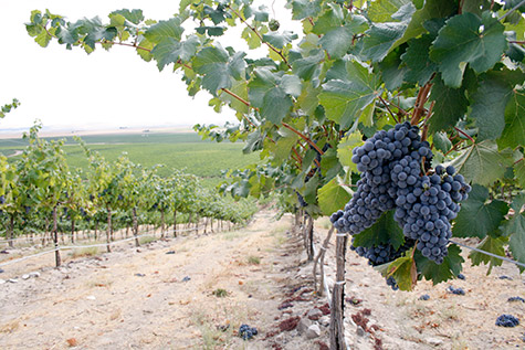 Cab Sauv ripening on the slopes of Coyote Canyon Vineyards