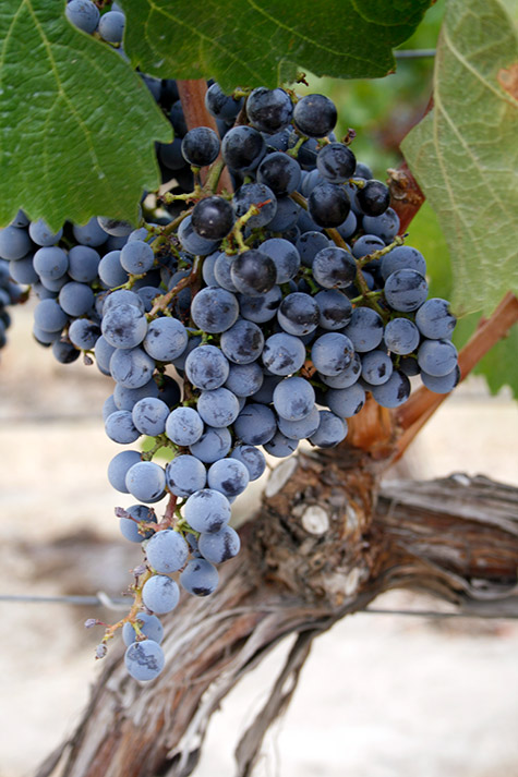Cab Franc in Elephant Mountain Vineyards