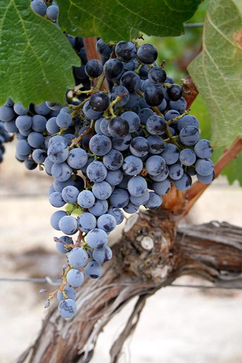 Cab Franc in Elephant Mountain Vineyards