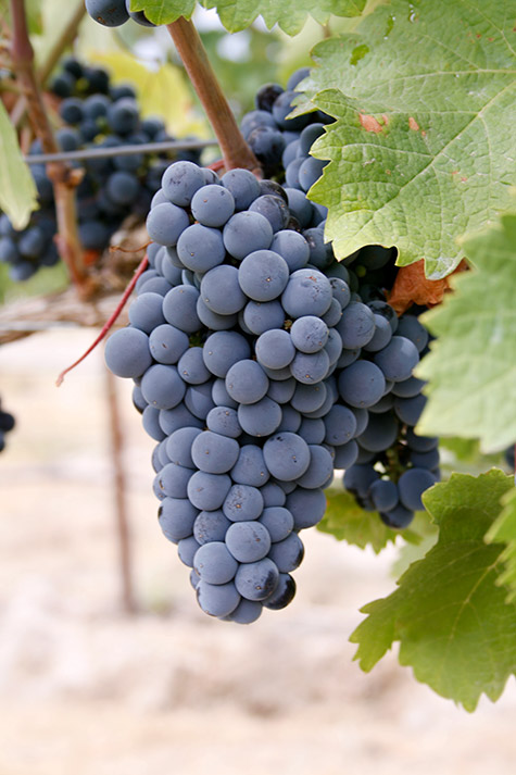 Merlot ripening in Elephant Mountain Vineyards