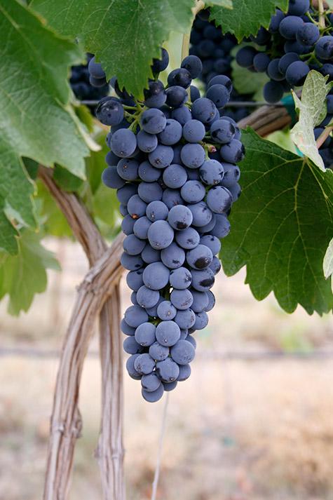 Syrah from Elephant Mountain Vineyards