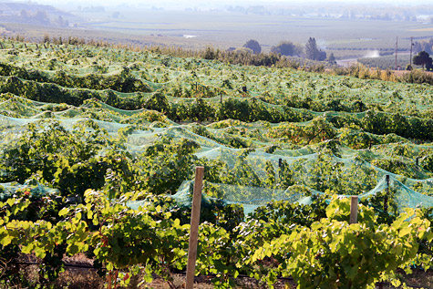 Nets drape vines at Sugar Loaf Vineyard